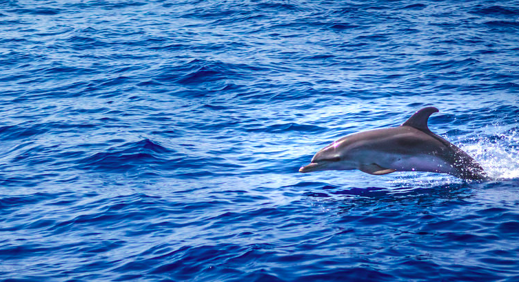dolphin watching madeira, portugal